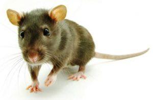 deratyzacja zwalczanie myszy i szczurów